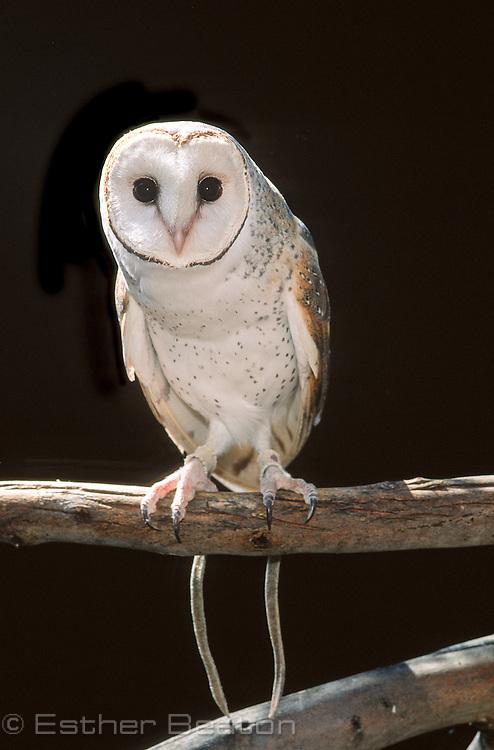 Barn Owl (Tyto alba)<br /> southeastern Australia