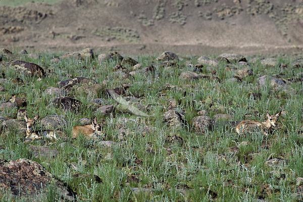 Pronghorn antelope fawns resting among rocks and grass, Western U.S., June.  It is not uncommon for the young of several mothers to hang out together once they are ten days to two weeks old.