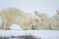 01874-12607 Two Polar bears (Ursus maritimus) sparring in winter, Churchill Wildlife Management Area, Churchill, MB Canada