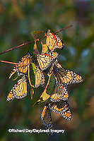03536-05114 Monarch butterflies (Danaus plexippus) roosting on tree branch,  Prairie Ridge State Natural Area, Marion Co., IL