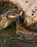 I observed this 'Puff Adder' near water, looking for a toad or frog to eat. But here it seems oddly interested in the honey bees..<br />