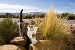 Domestic Cat (Felis catus) kitten, Laguna de los Pozuelos Natural Monument, Andes, northwestern Argentina