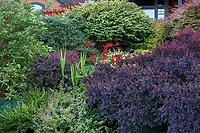 Cotinus coggygria 'Royal Purple' with Berberis x gladwynensis 'William Penn' and red flowering Crocosmia 'Lucifer' and Berberis 'Crimson Pygmy' in Seattle Washington, Stacie Crooks design