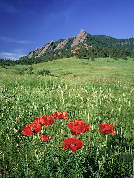 Red poppy wildflowers, Chautauqua Park, Flatirons rock formation, Boulder, Colorado, .  John leads private photo tours in Boulder and throughout Colorado. Year-round Colorado photo tours.