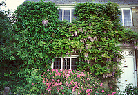 Wisteria climbing vine in bloom on stone house front, also with Hedera ivy, with Cistus purpureus shrub flowering at base, door, windows and roof and sky evident in wide view