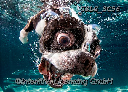 REALISTIC ANIMALS, REALISTISCHE TIERE, ANIMALES REALISTICOS, dogs, paintings+++++SethC_Rocco_320B8947rev,USLGSC56,#A#, EVERYDAY ,underwater dogs,photos,fotos ,Seth