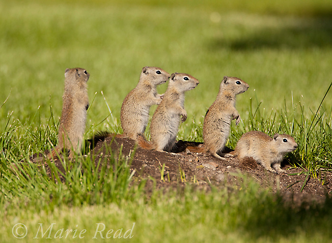 Belding's Ground Squirrels (Spermophilus beldingi), family group of youngsters standing on a dirt mound at the entrance of their burrow in a park lawn, Mono Lake Basin, California, USA