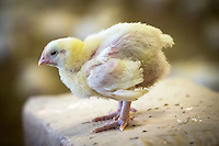 14 day old chicks, reared for fresh whole bird sales - Lincolnshire