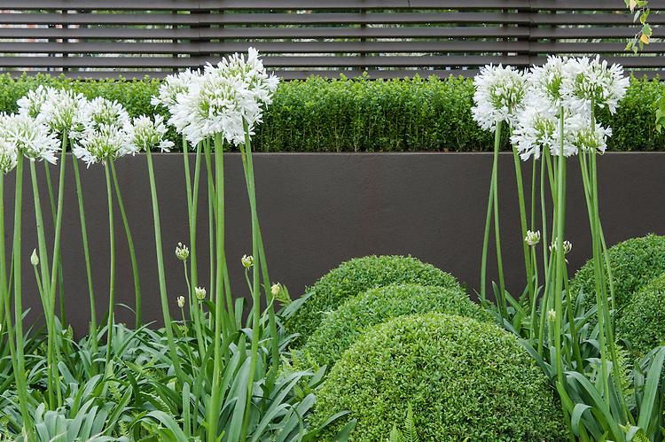 Contemporary Contemplation show garden, Hampton Court Flower Show 2012. Agapanthus umbellatus 'Albus', and topiary box balls (Buxus sempervirens).
