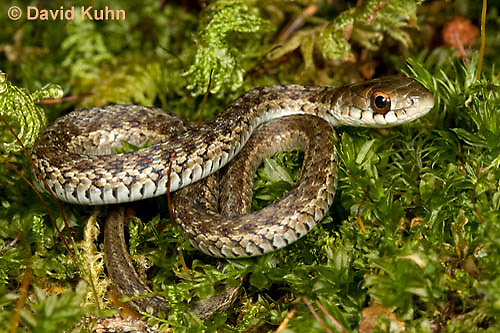 0102-0902  Young Garter Snake on Moss, Thamnophis sirtalis, Maine  © David Kuhn/Dwight Kuhn Photography