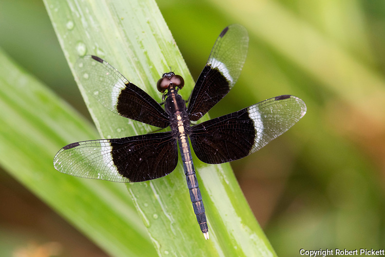 Pied Parasol Dragonfly, Neurothemis tullia, Ramsar Wetland, Sri Lanka, perched on leaf