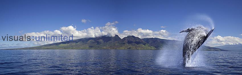 Breaching Humpback Whale (Megaptera novaeangliae), Maui, Hawaii, USA. Digital composite.