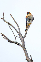 The smallest member of the Falcon family, male Kestrels are brightly colored and hunt by day. Here, a male Kestrel searches for food near Denver, Colorado.