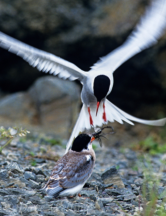 581600367 a wild adult arctic tern sterna paradisaca hovers while feeding its chick a dragonfly along the rocky bank of potters marsh near anchorage alaska