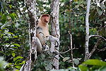 A proboscis monkey is seen in a tree along the Kinabatangan River on Monday April 29th 2013 in Bilit, Malaysia. (Photo by Brian Garfinkel)