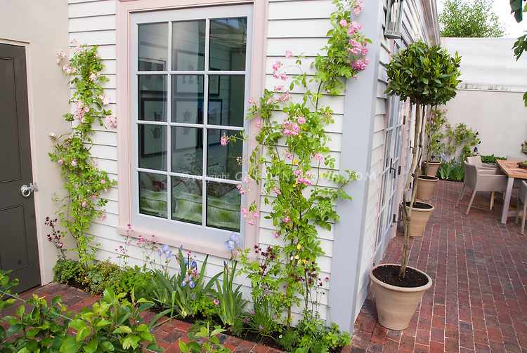 Roses Rosa Trained Against House Next To Window, In Pink Bloom With Blue  Irises,