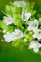 A perennial Eurasian herb (Origanum vulgare) Oregano in Bloo