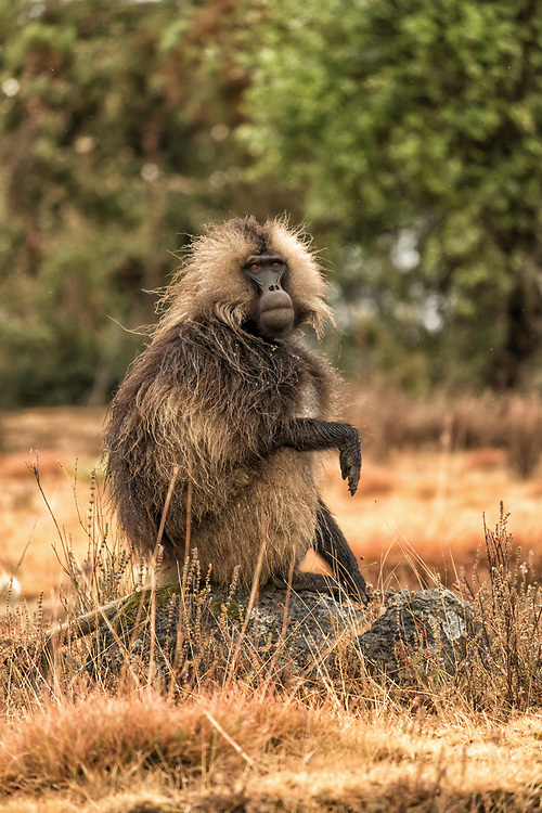 The male Gelada Baboon is  spectacularly handsome, possessing a imposing golden mane and heart-shaped red chest  patch.