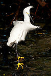 Snowy Egret (Egretta thula), Rosario islands, Cartagena de Indias, Bolivar Department, Colombia, South America.