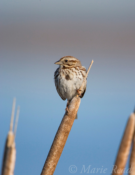 Song Sparrow (Melospiza melodia), male singing from cattail seedhead in a freshwater marsh, Montezuma National Wildlife Refuge, New York, USA