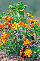 413310023 a wild northern cat-eyed snake leptodeira septentrionalis coils among texas lantana lantana horrida a native texas wildflower in the lower rio grande valley of south texas