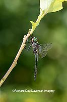 06556-00119 Clamp-tipped Emerald (Somatochlora tenebrosa) male Dent Co. MO