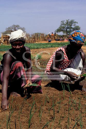 Tankular, The Gambia. Women working in a vegetable garden; barefoot.