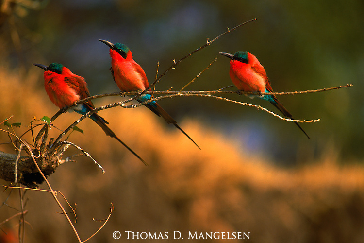 Bee-eaters perch on a limb watching for insects to eat.