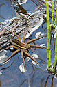 Raft Spider female {Dolomedes fimbriatus} resting on the surface of a moorland pool amongst stems of Horsetail (Equisetum sp.). Nordtirol, Austrian Alps, June.