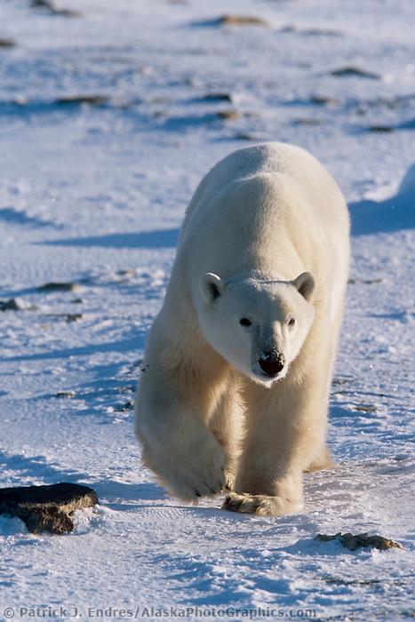 Male Polar bear walks along ice pack forming on the Hudson Bay in Churchill, Manitoba, CANADA