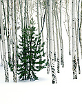 Lone pine tree in an aspen forest, winter, Rocky Mountain National Park, Estes Park, Colorado, USA. .  John leads private photo tours in Boulder and throughout Colorado. Year-round Boulder photo tours.