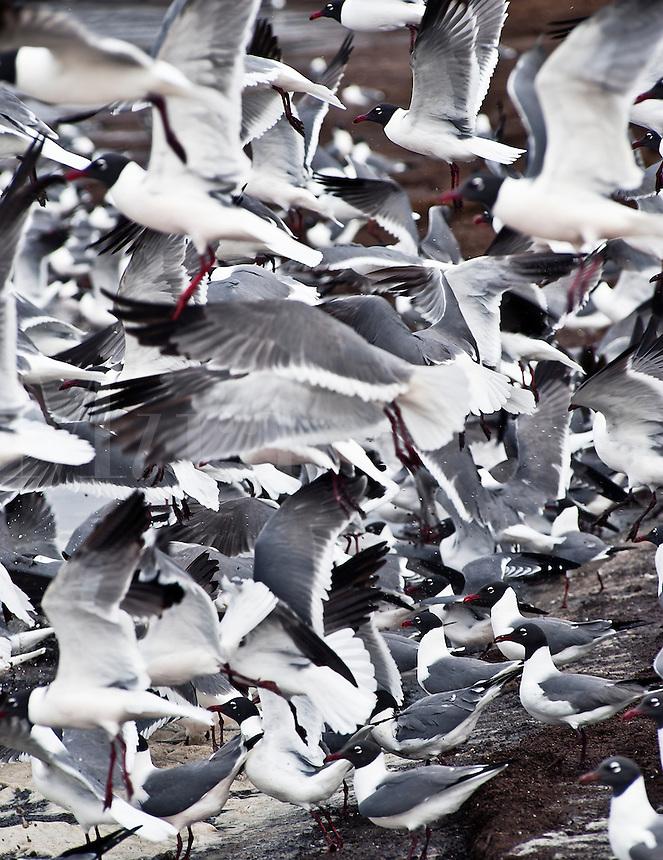 Laughing Gull, Leucophaeus atricilla, Reeds Beach, Delaware Bay, New Jersey,