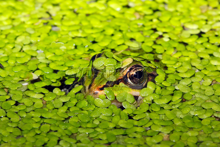 European edible frog, waterfrog (Rana esculenta) hiding in the water between Common duckweeds (Lemna minor), camouflage