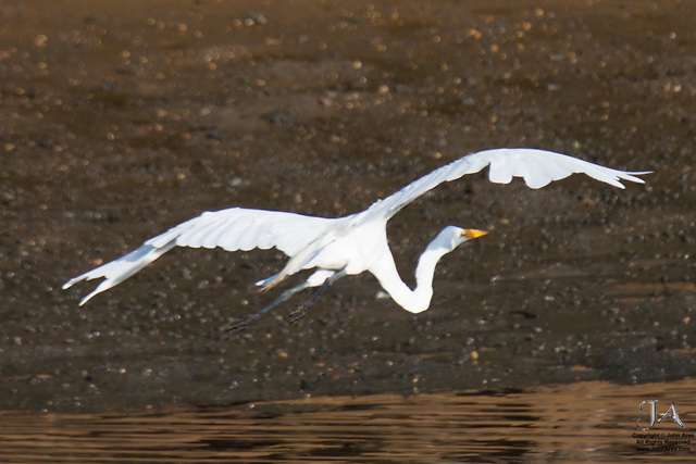 Great Egret flying in Hartshorn Woods Park, NJ