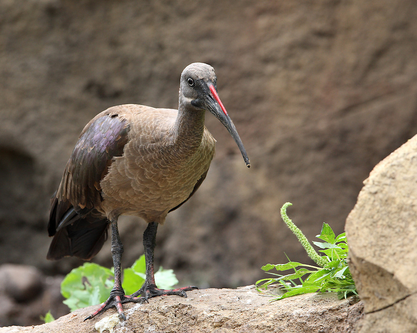 The Hadada or Hadeda Ibis has a distinctively loud and recognisable haa-haa-haa-de-dah call that is often heard when the birds are flying or are startled, hence the name. It feeds mainly on earthworms, using its long scimitar-like bill to probe soft soil.