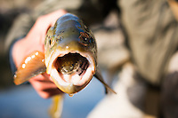 A ling is seen in the mouth of a brown trout on the Beaverhead River near Dillon, Montana.