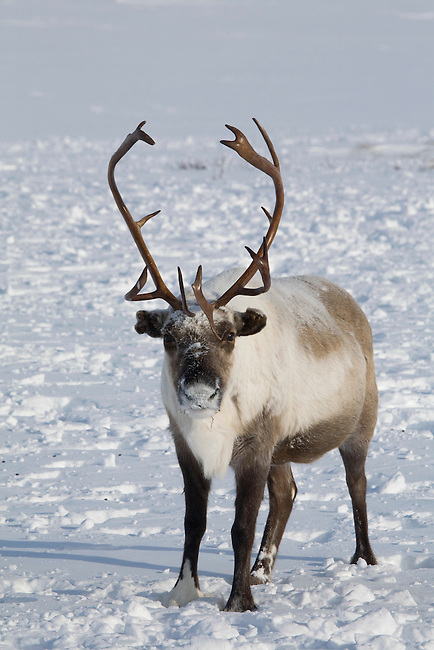 A reindeer at its winter pastures on the Chukotskiy Peninsula. Chukotka, Siberia, Russia