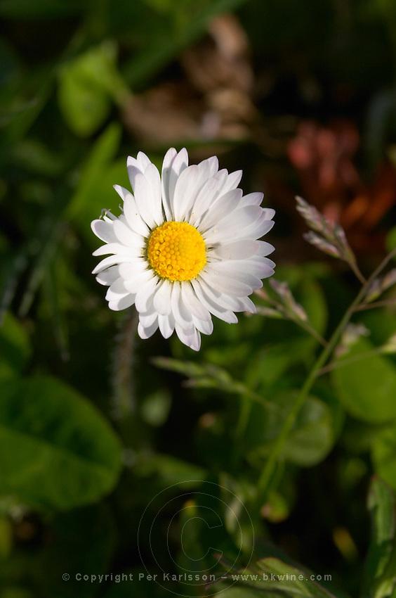white daisy chateau pey la tour bordeaux france