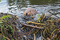 North American Beaver (Castor canadensis) working on dam--pushing mud and sticks up into the breach to seal the dam-- it has built on a small stream.  Northern Rockies,  Fall.