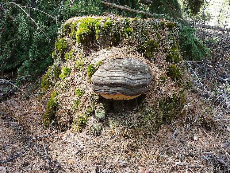 Wild tree fungus growing on a logged tree stump