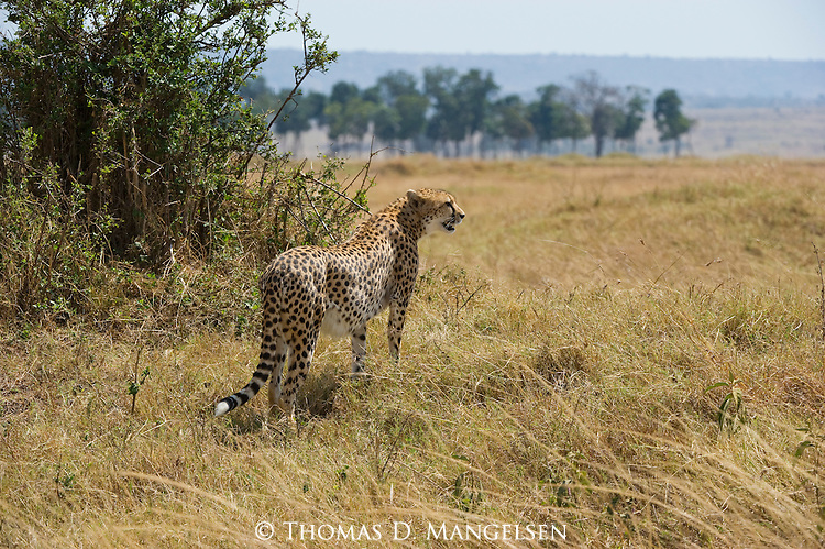 A cheetah surveys the savannah in Maasai Mara, Kenya.