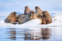 Atlantic walrus, Odobenus rosmarus rosmarus, herd, resting on ice floe, Lagoya, Svalbard, Norway, Atlantic Ocean