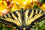 Canadian tiger swallowtail butterfly, papilio glaucus canadensis
