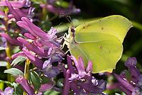 Zitronenfalter, Zitronen-Falter, Männchen, Blütenbesuch an Lerchensporn, Corydalis, Gonepteryx rhamni, brimstone, brimstone butterfly, male, Le Citron