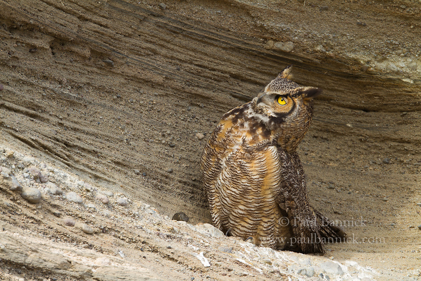 A Great Horned Owl keeps a watchful eye on her young in a nearby cave..