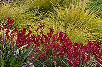 Anigozanthos 'Bush Ranger', Red flowering Kangaroo Paws with Lomandra longifolia 'Breeze' in Schaff Garden