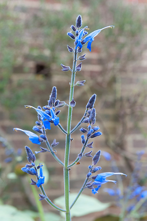 Salvia macrophylla, mid October.