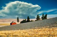 Wheat field ready for harvest and barn. The Palouse. Washington