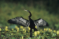 Anhinga (Anhinga anhinga),male preening amongst Yellow Waterlilies (Nymphaea mexicana) Sinton, Coastel Bend, Texas, USA