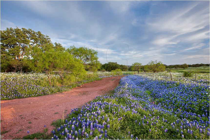 Texas Bluebonets line a dirt road in the Texas Hill Country on a peaceful spring evening.